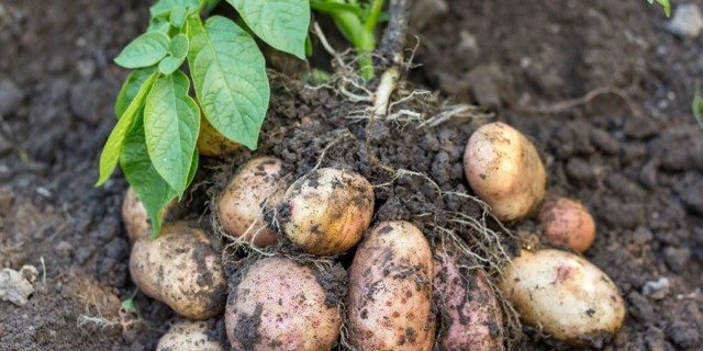 Какое лучшее комплексно удобрение для картофеля при посадке в почву