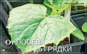 О посадке тыквы в открытый грунт семенами: на какую глубину сажать семечко