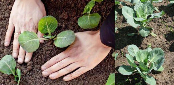 О посадке поздней капусты в открытый грунт, когда сажать, правильные сроки