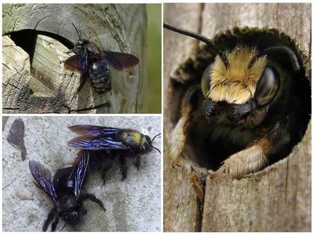 О пчеле-плотнике обыкновенной, как избавиться от древесной пчелы в стене дома