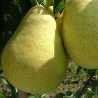 О груше москвичка: описание сорта, опылители, агротехника выращивания