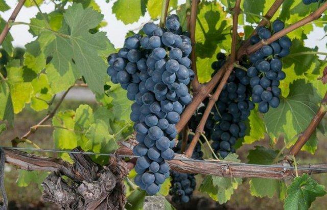 О винограде сира (шираз): происхождение, характеристики, особенности сорта