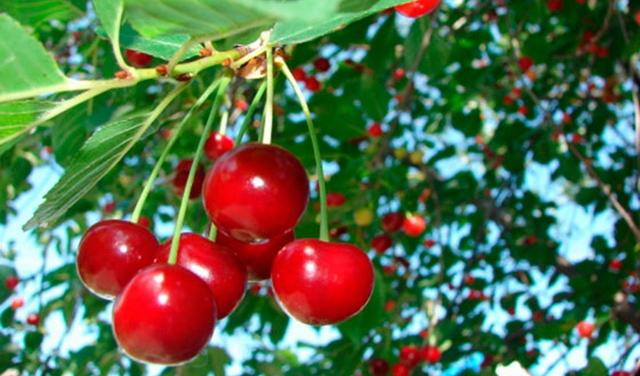 Как ухаживать за вишней весной: посадка саженца, подкормка, обрезка