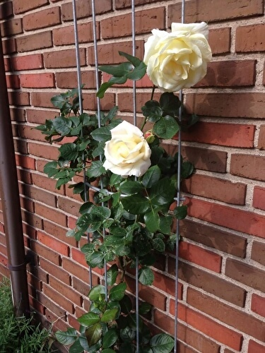 О розе schneewalzer: описание и характеристики плестистой розы, посадка и уход