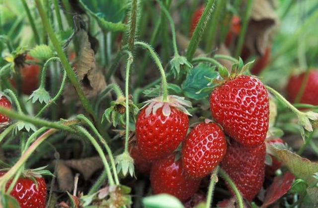 О клубнике кимберли: описание и характеристики сорта, посадка, уход, выращивание