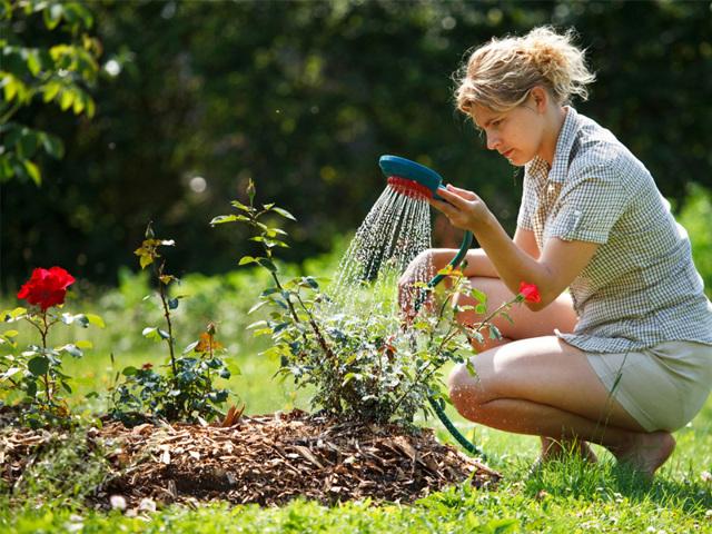 О кустовых розах: описание и характеристики видов и сортов культуры