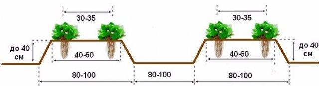 О клубнике чамора туруси: описание и характеристики сорта, посадка, уход