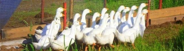 О гусях линда: описание породы, характеристика, выращивание в домашних условиях