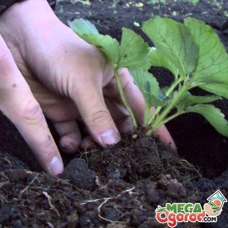 О клубнике кардинал: описание и характеристики сорта, посадка, уход, выращивание