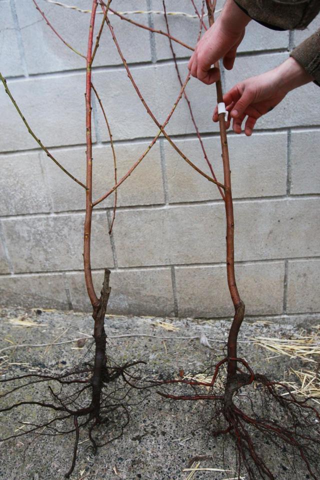 О пересадке сливы: когда можно пересаживать весной на новое место