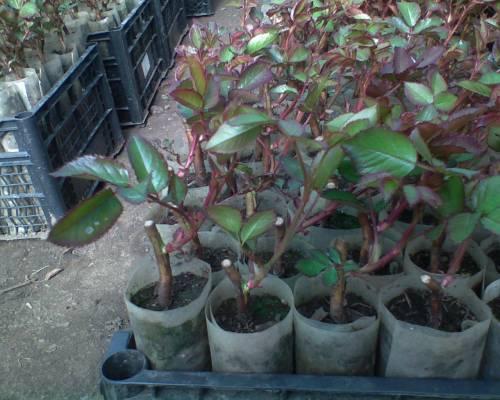 О размножении роз отводками летом: как размножать розы воздушной отводкой
