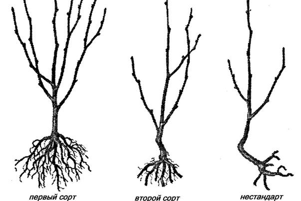 О черешне дайбера: описание и характеристики сорта, посадка, уход, выращивание