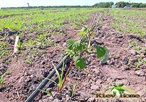 О поливе малины: как часто поливать малину летом, капельный полив