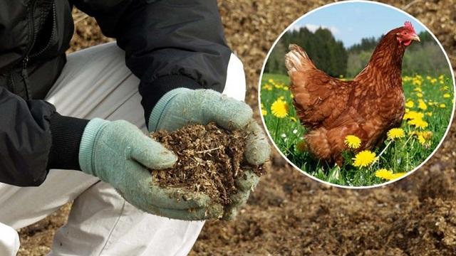 О подкормке огурцов куриным пометом: как правильно удобрять, сколько класть