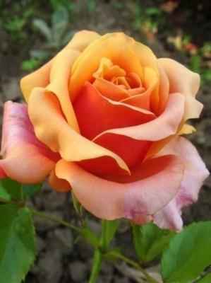 О розе черри бренди (cherry brandy): описание и характеристики сорта