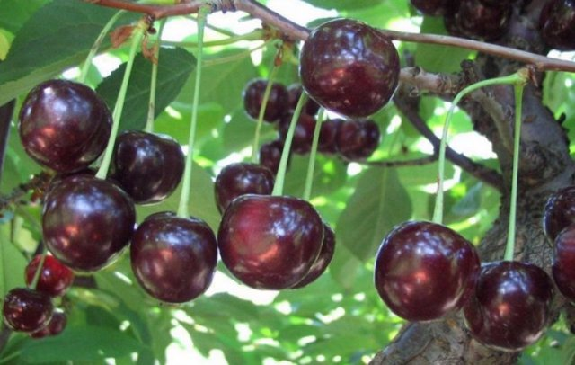 О сливе стартовая: описание сорта, агротехника выращивания, опыление