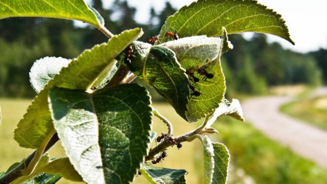 О борьбе с муравьями и тлей на яблоне: какими народными средствами обработать