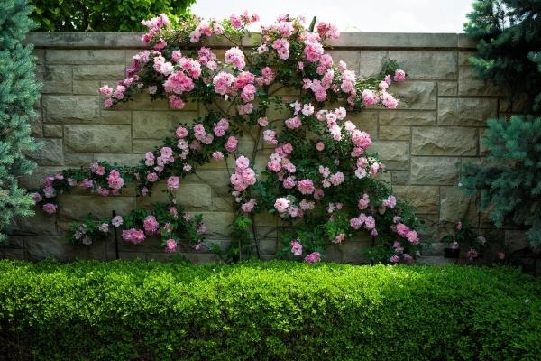 О розах шрабах: что это такое, посадка, уход и выращивание полуплетистых роз