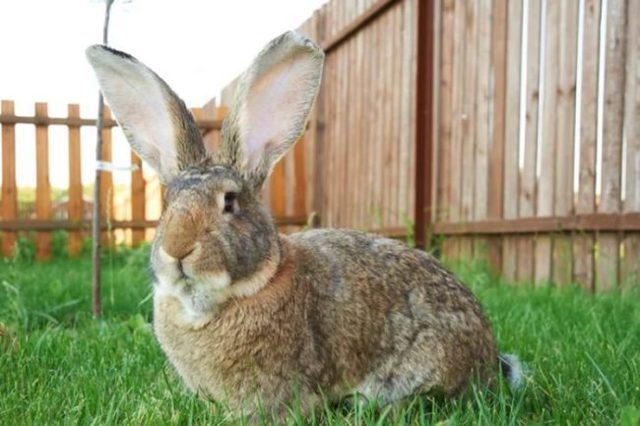 О кроликах ризен: описание и стандарт немецкой породы, основные характеристики