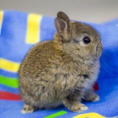 О карликовом кролике: описание породы и уход, как выбрать японского кролика