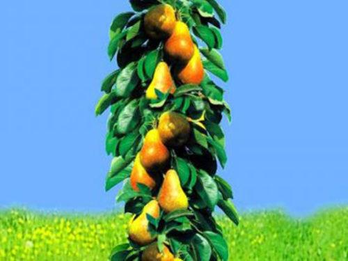 О колоновидной груше: описание лучших сортов, выращивание и дальнейший уход