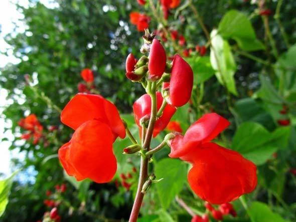 О декоративной (вьющейся) фасоли: посадка сортовых семян, уход и выращивание