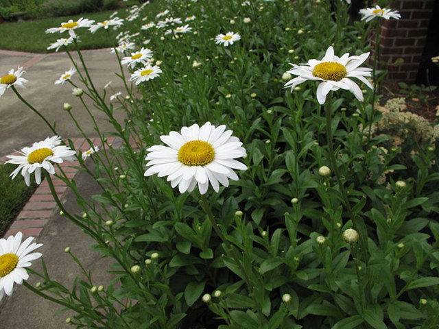 О желтой ромашке садовой многолетней: лечебные свойства, посадка, уход