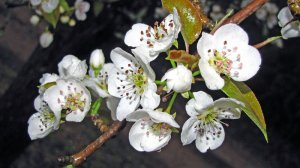 О груше елена: характеристика и описание сорта, особенности выращивания