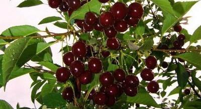 О вишне тамарис: описание и характеристики сорта, посадка и уход