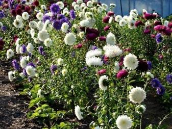 О подкормке астр после высадки в грунт (чем удобрять для роста и цветения)