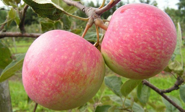 О посадке яблони весной на урале, как правильно выбрать хороший саженец