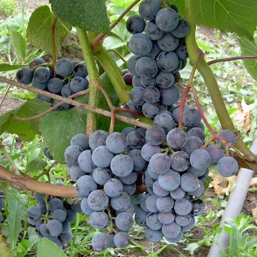 О винограде таежный: описание и характеристики сорта, посадка и уход