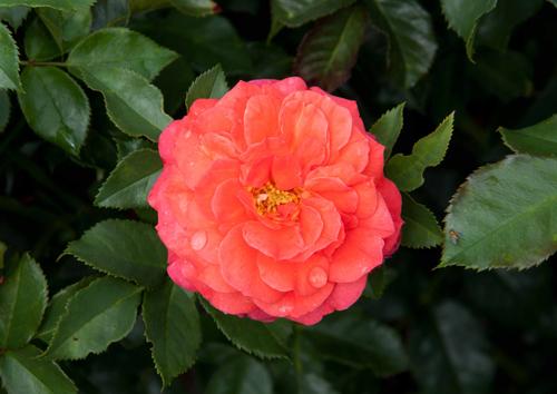 О розе gebruder grimm: описание и характеристики, выращивание розы флорибунда