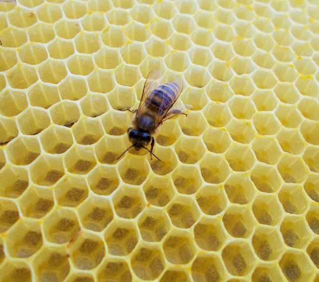 О личинках пчел, а также молодых пчелах, как они называются, стадии развития