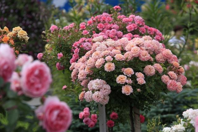 О посадке и уходе в открытом грунте за розой для новичков и начинающих