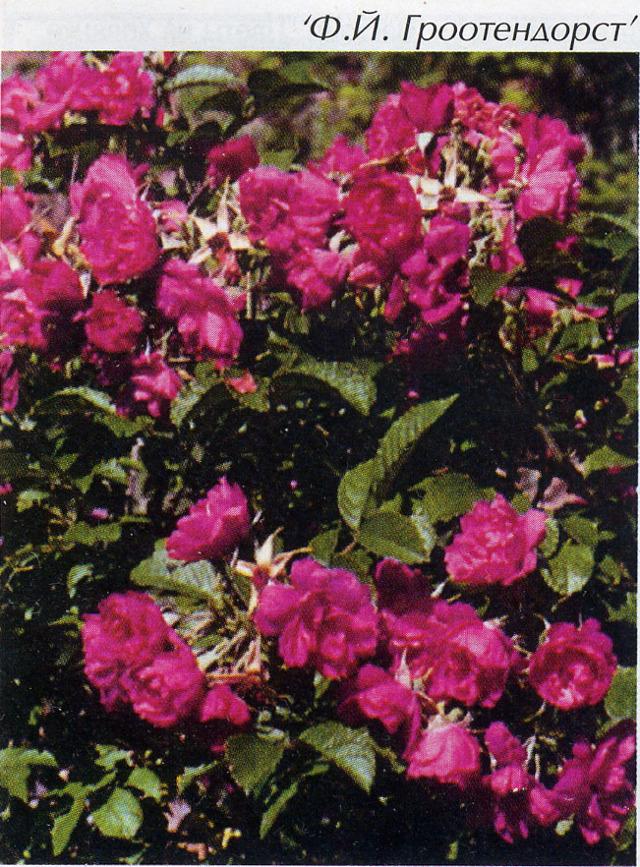 О розе grootendorst: описание и характеристики сорта, размножение и выращивание