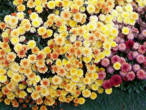 О посадке и уходе за многолетними хризантемами в открытом грунте, на даче