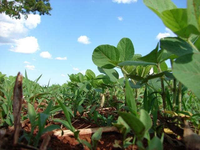 О посадке и уходе в открытом грунте за бобами: как сажать, замачивать ли семена
