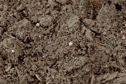 О пекинской капусте: как и когда сажать на рассаду, выращивание и уход