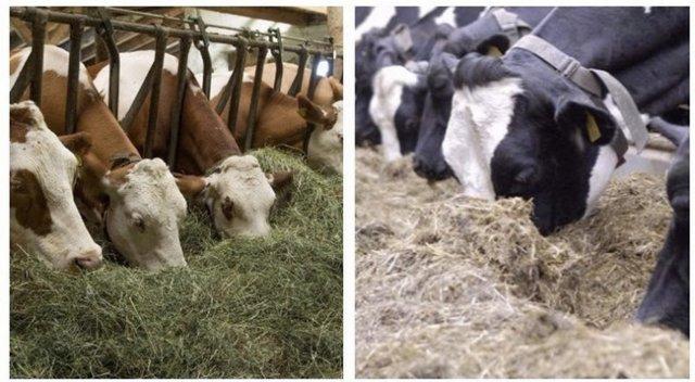 О коровах и быках лимузинской породы: описание и характеристики, содержание