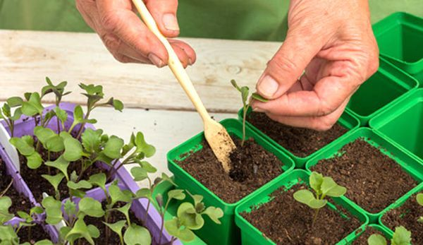 О подкормке капусты после высадки в грунт, чем лучше подкармливать