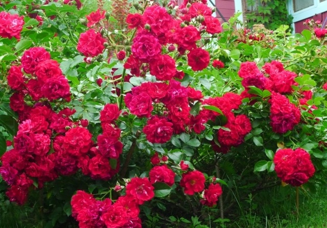 О розе hello: описание и характеристики, выращивание сорта почвопокровной розы