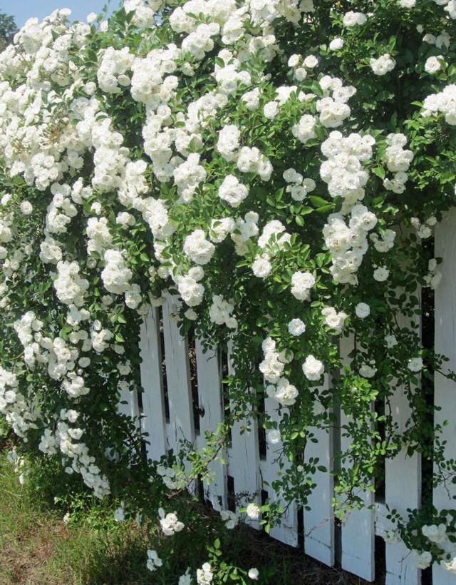 О розе айсберг (iceberg): описание и характеристики плетистой розы