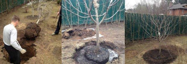 О пересадке груши на новое место: как правильно пересадить весной