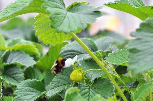 О клубнике: что делать если не цветет, не плодоносит, какие могут быть причины
