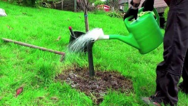 О груше ника: описание сорта, особенности опыления, агротехника выращивания