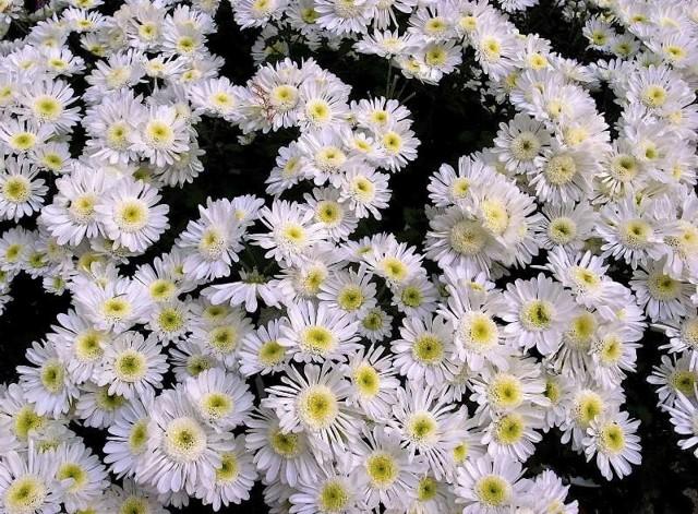 О кустовых ромашковидных хризантемах: описание и характеристики, посадка и уход