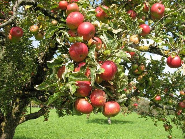 Лучшие сорта яблонь для вологодской области: описание и характеристика