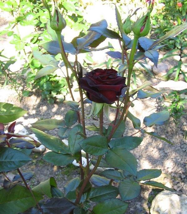 О розе блэк баккара (black baccara): описание сорта чайно гибридной розы
