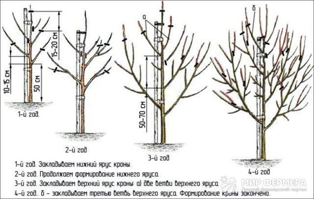 О груше яковлевская: описание и характеристика сорта, особенности